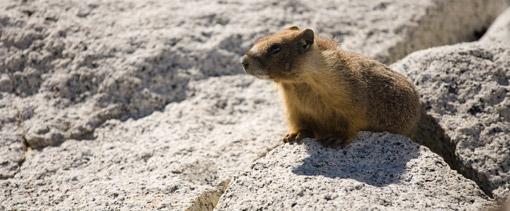 Marmot in John Muir